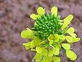 Sinapis alba Inflorescence 2010-4-11 DehesaBoyalPuertollano.jpg