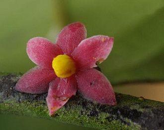 David Attenborough - Sirdavidia solannona