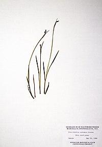 Sisyrinchium montanum BW-1979-0529-0352.jpg