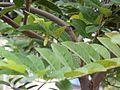 Sitaphal (Marathi- सिताफळ) (3599982661).jpg