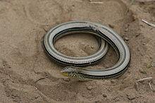 Eastern Slender Glass Lizard