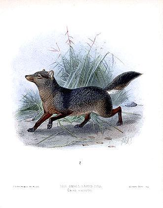 Short-eared dog - Illustration of short-eared dog