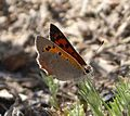 Small Copper. Lycaena phlaeas - Flickr - gailhampshire.jpg