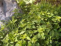 Small Lamium album plants and a stone.JPG