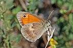 Small heath (Coenonympha pamphilus) Bulgaria.jpg