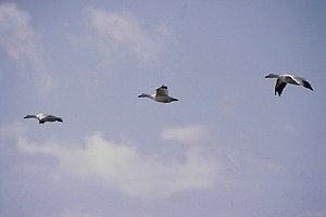 English: Snow Geese Picture taken October 1983...