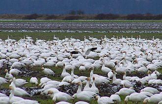 Fir Island (Washington) - Snow geese on Fir Island, Skagit River Delta