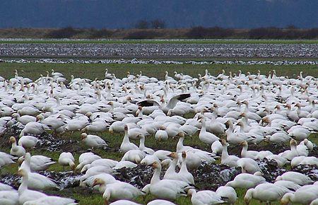 Snow Geese in Fir Island field - 2009.jpg