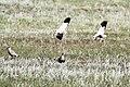 Sociable Lapwing (Vanellus gregarius) (8079444215).jpg