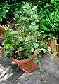 Solanum nelsonii (6494016809).jpg