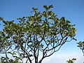 Sophora chrysophylla (5209535943).jpg