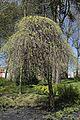 Sophora japonica 'Pendula' in April J1.jpg