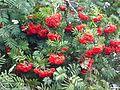 Sorbus aucuparia fruit 6.JPG