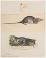Sorex indicus - 1700-1880 - Print - Iconographia Zoologica - Special Collections University of Amsterdam - UBA01 IZ20900127.tif