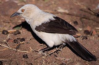 Southern pied babbler species of bird