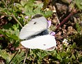 Southern Small White, 1st brood male poss (31077014118).jpg
