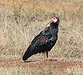Southern bald ibis 2016 05 11.jpg