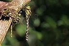 Southern hawker dragonfly (Aeshna cyanea) female 2.jpg