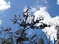 Spanish moss Costa Rica.jpg