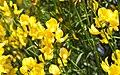 Spartium Junceum (105365645).jpeg