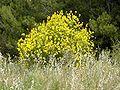 Spartium junceum ginesta.jpg