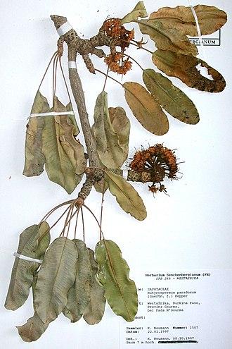 Das Herbarium 330px-Specimen_Vitellaria_paradoxa