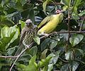 Sphecotheres vieilloti -Bellenden Ker Range, Queensland, Australia -pair-8.jpg