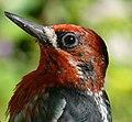 Sphyrapicus ruber -Vancouver Island, British Columbia, Canada -head-8.jpg
