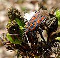 Spilostethus saxatilis - Flickr - gailhampshire (1).jpg