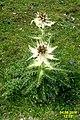 Spiniest thistle (Gru) (31847589971).jpg