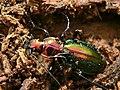Splendid Ground Beetle (Chrysocarabus splendens) found in deadwood (8334000339).jpg