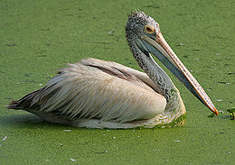 Spot-billed Pelican (Pelecanus philippensis) at Uppalapadu in AP W IMG 3456.jpg