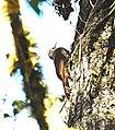 Spot-crowned Woodcreeper.jpg