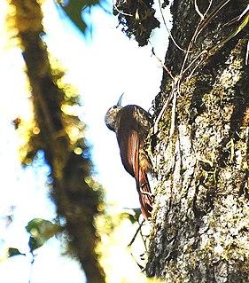 Spot-crowned woodcreeper species of bird