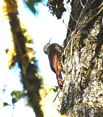 Spot-crowned woodcreeper - Image: Spot crowned Woodcreeper