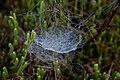Spring-spiderweb-dew-morning - West Virginia - ForestWander.jpg