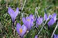 Spring Crocus - Crocus vernus (13694679715).jpg