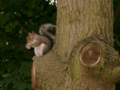 Squirrel in Birkenhead Park.png