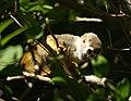 Squirrel monkey- Bonnet House, Ft. Lauderdale, Florida (4233829062).jpg