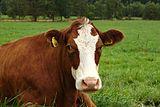 Stachy, kráva.jpg