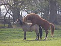 Stallion and mare, Pilley Allotments, New Forest - geograph.org.uk - 401096.jpg
