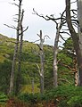 Stand of dead Caledonian pines - geograph.org.uk - 189564.jpg