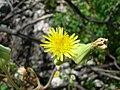 Starr-050223-4323-Sonchus oleraceus-flower-Popoia-Oahu (24738383205).jpg