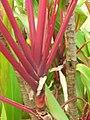 Starr-060916-8964-Cordyline fruticosa-leaf bases-Makawao-Maui (24497816139).jpg