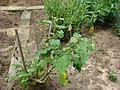 Starr-080531-4953-Solanum torvum-habit in garden-4208 Commodore Ave Sand Island-Midway Atoll (24543397469).jpg