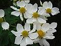 Starr-081230-0646-Montanoa hibiscifolia-flowers-Upper Kaulana-Kahoolawe (24631742740).jpg