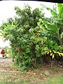 Starr-090720-3107-Azadirachta indica-habit-Waiehu-Maui (24970264755).jpg