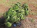 Starr-090802-3528-Prunus persica var persica-fruit tree with bird netting-Olinda-Maui (24603222709).jpg