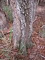 Starr-090804-3697-Acacia melanoxylon-trunk and bark-MISC HQ Piiholo-Maui (24340566454).jpg