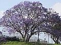 Starr-100504-5880-Jacaranda mimosifolia-flowering habit-Kula Hwy Kula-Maui (25037426885).jpg
